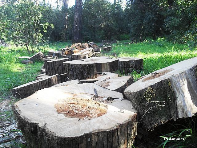 A Mata encanta madeireiros na Quinta das Conchas no Lumiar (1/5)
