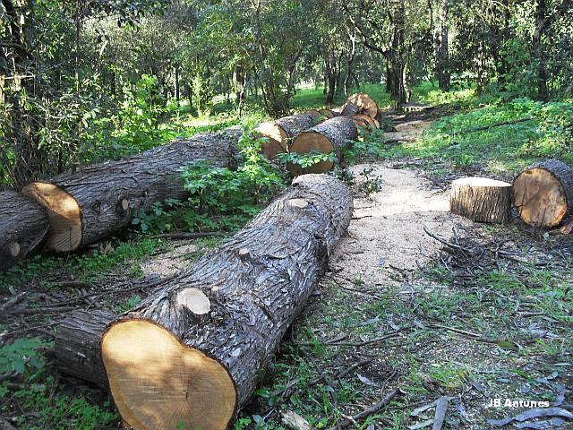 A Mata encanta madeireiros na Quinta das Conchas no Lumiar (4/5)