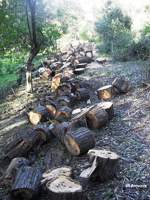 A Mata encanta madeireiros na Quinta das Conchas no Lumiar (5/5)